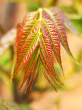 Toona sinensis Royalty Free Stock Photo