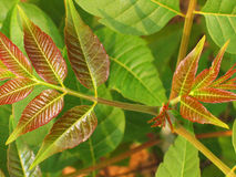 Toona sinensis Royalty Free Stock Images