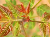 Toona sinensis Blätter Lizenzfreies Stockbild