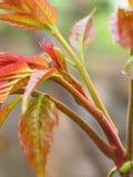 Toona sinensis Blätter Stockbild