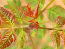 Toona sinensis leaves. Spring can eat the leaves of Toona sinensis son Royalty Free Stock Image