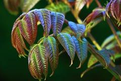 Toona Sinensis. Tree Leaves in Spring royalty free stock image