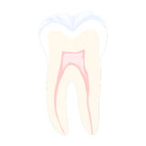 Tooth. In cross section in the white background, vector illustration, eps10 Stock Image