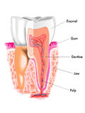 Tooth Stock Image