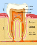 Tooth. Cross-section of the human teeth Royalty Free Stock Photos