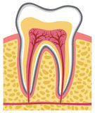 Tooth. Anatomy, health care,  crown Stock Image