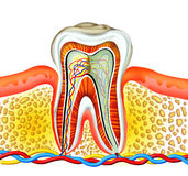 Tooth. Detailed of cross section inside of a tooth, generated by illustration on isolate royalty free illustration