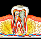 Tooth. Detailed of cross section inside of a tooth, generated by illustration on black colour background royalty free illustration