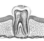 Tooth. Detailed of cross section inside of a tooth, generated by illustration on white background royalty free illustration