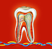 Tooth. Detailed of cross section inside of a tooth, generated by illustration on dark red colour background stock illustration