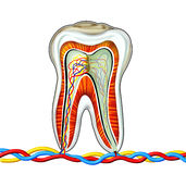 Tooth. Detailed of cross section inside of a tooth, generated by illustration white background vector illustration