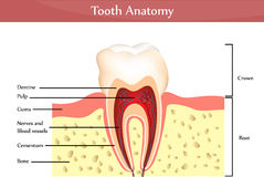 Tooth anatomy Stock Image