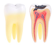 Tooth anatomy Royalty Free Stock Photography