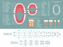 Tooth anatomy chart. Orthodontist human teeth loss diagram, dental scheme and orthodontics medical vector infographic royalty free illustration