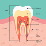 Tooth anatomy. Dental infographics royalty free illustration