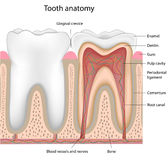 Tooth anatomy, eps8. Cross section  of a human tooth, eps8, gradient and mesh printing compatible Royalty Free Stock Photography