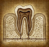 Tooth Anatomy In Grunge Texture Stock Images