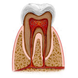 Tooth anatomy. Human Tooth anatomy illustration Royalty Free Stock Images