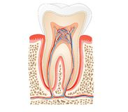 Tooth anatomy Royalty Free Stock Image