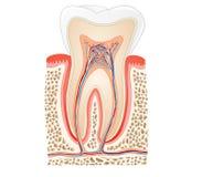 Tooth anatomy royalty free illustration