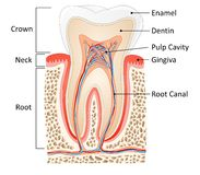Tooth anatomy Royalty Free Stock Images