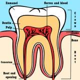 Tooth anatomy scheme Stock Photo
