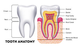 Tooth anatomy vector dental infographics Royalty Free Stock Photos