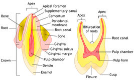 Tooth anatomy, vector. Tooth anatomy diagram, vector illustration Stock Photos