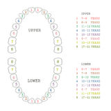 Tooth chart, human teeth. Vector dental illustration, tooth chart, human teeth Royalty Free Stock Images
