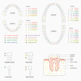 Tooth chart, human teeth Royalty Free Stock Photos