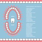 Tooth chart with names - dental infographics, teeth in jaw. Plan royalty free illustration