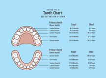 Tooth Chart Primary teeth with erupt & shed illustration vector. On blue background. Dental concept Royalty Free Stock Image