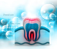 Tooth cross section Royalty Free Stock Photo