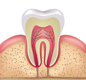 Tooth cross section Royalty Free Stock Images