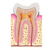 Tooth cut Stock Image