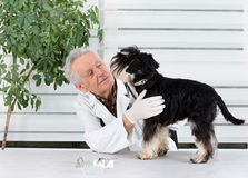 Tooth examination. Miniature schnauzer has tooth examination in senior veterinarian infirmary Royalty Free Stock Photography