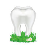 Tooth in grass isolated on white Royalty Free Stock Image
