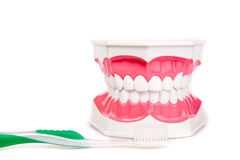 Tooth model with  toothbrush Stock Images