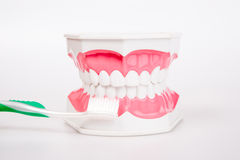 Tooth model with  toothbrush Royalty Free Stock Images