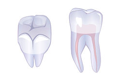 Tooth with a root. Side view and top view Stock Images