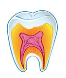 Tooth on section Stock Image