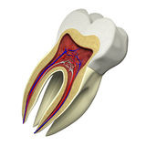 Tooth section Stock Photography