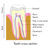 Tooth section Royalty Free Stock Image