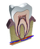 Tooth section, cutting, dentist, gum, dentistry Stock Photos