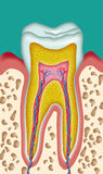 Tooth. Section of a tooth schematic drawing cutout Stock Photography