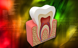 Tooth structure vector illustration