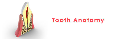 Tooth structure Royalty Free Stock Photography
