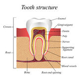 Tooth structure, training medical anatomical poster, vector illustration. Stock Photo