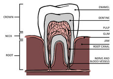 Tooth stucture. Tooth structure. Anatomy of teeth, with names of components Stock Photography