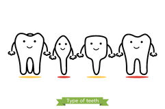 Tooth type - incisor, canine, premolar, molar - cartoon vector outline style. Tooth type - incisor, canine, premolar, molar - dental cartoon vector outline style Royalty Free Stock Photography